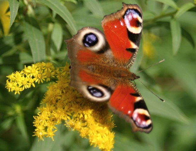 Schmetterling Ruhe