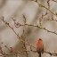 Male House Finch on a Wet December Day