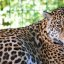 Leopardin