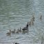 Cute Canada Goose Families out for a Swim