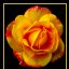 majestic_rose