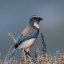 Western Scrub-Jay (Aphelocoma californica), or California Jay, at Montana de Oro State Park