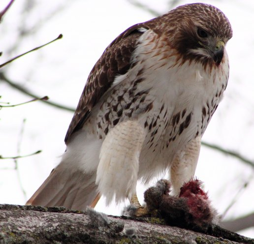 Hawk vs. Rabbit