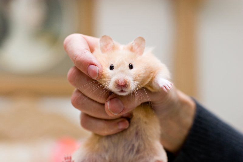 the helpless hamster