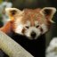 Tired Red Panda / Firefox