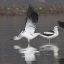 american-avocets_mg_8488