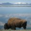 Bison Ranging Yellowstone Lake