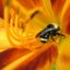 Macro 2 of bee inside a Day Lily
