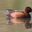 Cinnamon Teal, Los Osos (Cuesta by the Sea Inlet), Morro Bay, CA