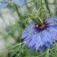 Nigella Arvensis