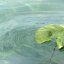 Blatt im Wasser