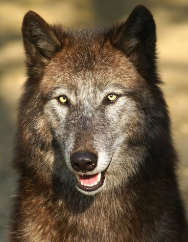 Der freundliche Wolf