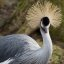 African Grey Crowned Crane, Martin Mere January 2009