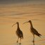 Long-billed Curlew (Numenius americanus) birds on Morro Strand State Beach during a golden sunset.  Also characteristic of Montana de Oro area to the south.