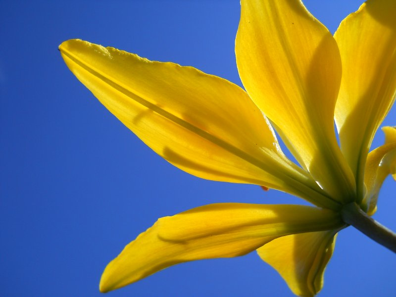 Spreading some sunshine to you with a yellow lily..