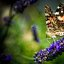 Butterfly on Lavender 3