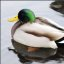Male Mallard (2 of 3)