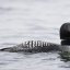 common-loon-adult-breeding