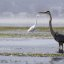 great-blue-heron_a_f_11.0_1_1000 s_morro-bay