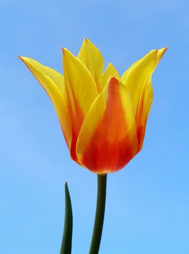 Red &amp; yellow tulip