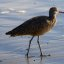 Long-billed Curlew, Numenius americanus, bird, in evening sun, on Morro