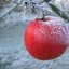 Roter Apfel im Frost