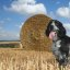 Gromit and the straw bales