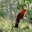 King parrot in the Australian bush