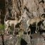 Desert Bighorn Sheep in Grand Canyon National Park D_3939
