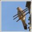 Feathers and Steel - Common Kestrel