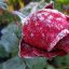 Rose im Morgenfrost