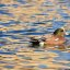 American Monument Wigeon....