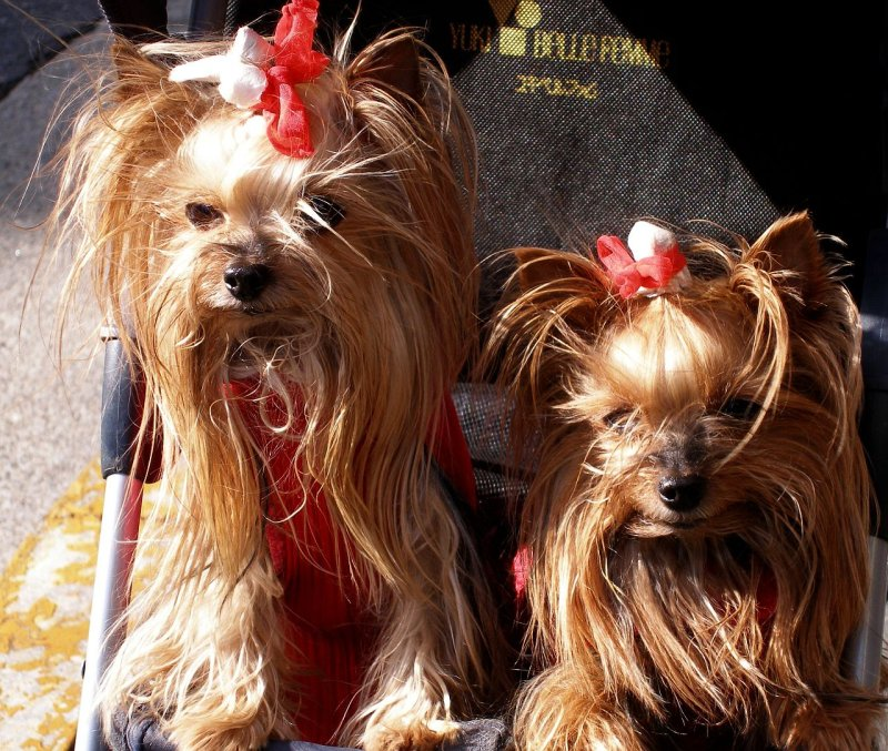 2 Yorkies with red ribbons