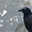 Grackle by the Water