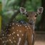 Deer @ Guindy National (Childrens) Park, Chennai