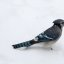 Well Fed Blue Jay!