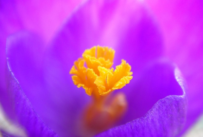 Crocus (cropped)
