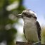 Kookaburra on the line