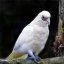 Slender Billed Corella