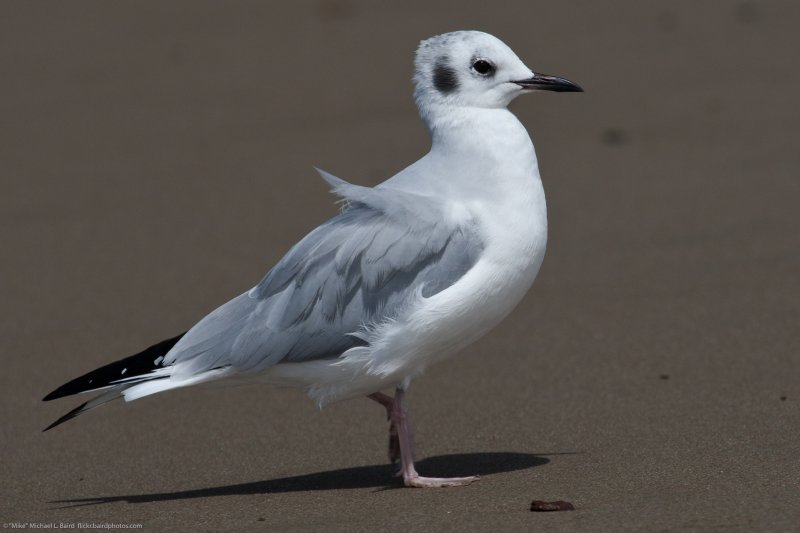 Bonaparte's Gull (Chroicocephalus philadelphia) Adult non-breeding