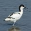 Avocet,Marshside RSPB Southport, May 2010