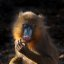 Mandrill (Colourful Monkey)