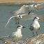 Sandwich & Lesser Crested Terns