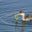 Horned Grebe captures and swallows a a large cold-water pipefish in Morro Bay, CA
