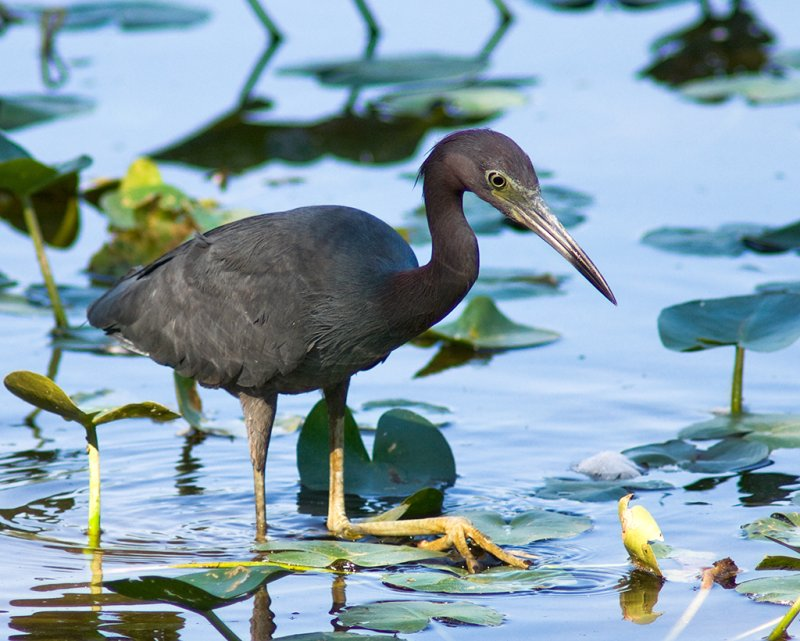 Young Heron Searching for Breakfast