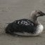1 of 6 Pacific Loon in distress, rescued by Dani Nicholson of Pacific Wildlife Care, Morro Bay, CA 29 May 2008