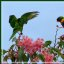 Lorikeet's wings