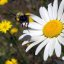 Serendipity with the bee and daisy