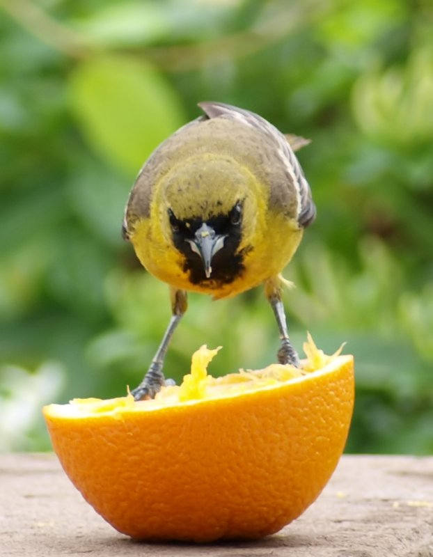 Orchard Oriole (1st year male)