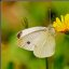 My white butterfly ...